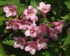 Вейгела цветущая - Weigela `Nana Variegata`