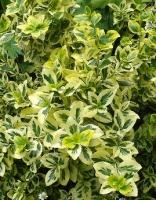 Бересклет Форчуна — Emerald Gold -Euonymus fortunei