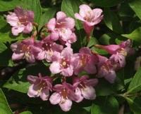 Вейгела цветущая `Штириака`, Weigela florida `Styriaca`