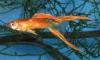 Рыбка аквариумная гуппи самец мультиколор