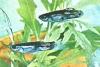 Рыбка аквариумная гуппи самка