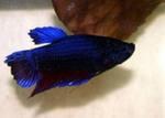 Рыбка аквариумная петушок самка (курица)
