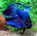 Рыбка аквариумная петушок самец medium