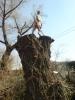 Аварийный спил деревьев (067)4475221 , удаление аварийных деревьев Киев. Подрезка деревьев.