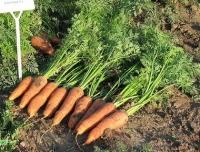 Семена морковь Канада F1 (1,8-2,0 мм) Производитель:Bejo Zaden Нидерланды (количество семян в упаковке 25000 шт )