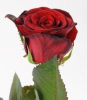 Роза Гранд При (70см)