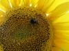 Семена подсолнечника Рембо под Гранстар от производителя