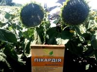 Семена подсолнечника Пикардия под Евро-Лайтинг от производителя.