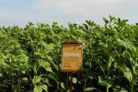 Семена подсолнечника Рона под Гранстар